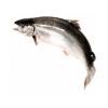 Рыба лосось (семга)